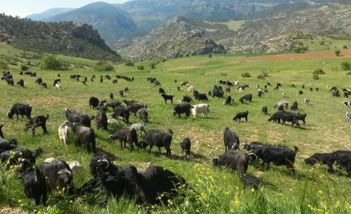 Öztürk: Keçiler orman yangınlarının büyümesini engelliyor