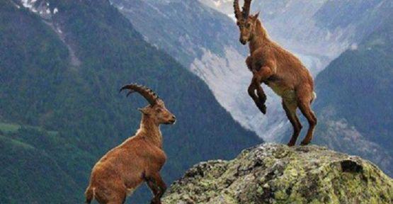Bakanlık, Dersim'deki dağ keçilerini avlatmak için ihale açtı