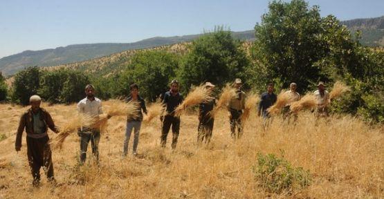 Derecik'te 37 derece sıcaklıkta buğday hasadı