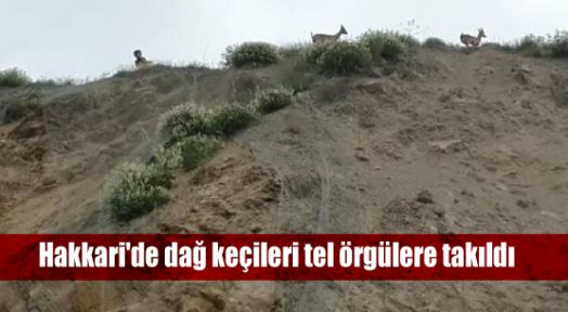 Hakkari'de dağ keçileri tel örgülere takıldı