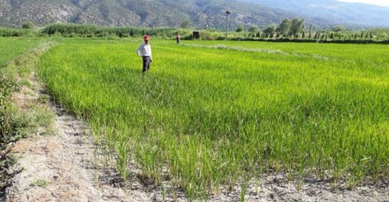 HES suyu kesti: Çeltik tarlaları kurumaya başladı