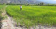 HES suyu kesti: Çeltik tarlaları kurumaya...