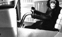 Şempanzenlerin yuvası insan yatağından temiz çıktı!