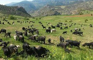 Öztürk: Keçiler orman yangınlarının büyümesini...