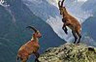 Bakanlık, Dersim'deki dağ keçilerini avlatmak için...
