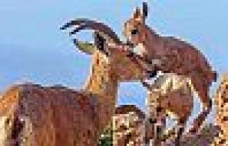 Maçoğlu: Kurtarılacak 767 dağ keçisi daha var