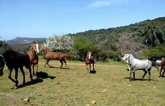 İddia: Toplatılan yılkı atları et ve sucuk yapılıyor
