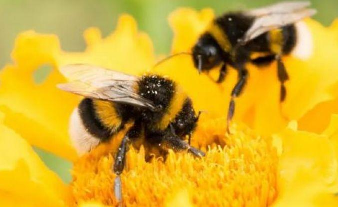 Brezilya'da 500 milyondan fazla arı öldü